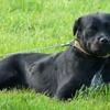 Heidi, Chien croisé / autre (labrador (retriever)) à adopter