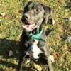 Twix, Chien croisé / autre (labrador (retriever)) à adopter