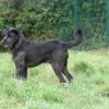 Droopy, Chien croisé / autre (labrador (retriever)) à adopter