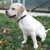 Nono, Chiot croisé / autre (labrador (retriever)) à adopter