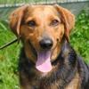 Gibus, Chien croisé / autre (labrador (retriever)/ beagle) à adopter