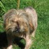 Brandy, Chien croisé / autre (lhassa apso/ yorkshire terrier) à adopter