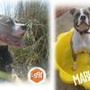 Marlon, Chien croisé / autre (staffordshire bull terrier) à adopter