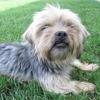 Kenzo, Chien croisé / autre (yorkshire terrier) à adopter