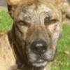 Elton chien d'1 vie , Chien cursinu croisé berger à adopter