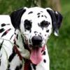 Ipso, Chien dalmatien à adopter