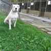 Idem, Chien dogue argentin à adopter