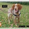 Igor, Chien epagneul breton à adopter