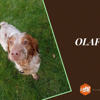 Olaf, Chien epagneul breton à adopter