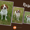 Nash, Chien epagneul breton à adopter