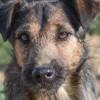 Yoshi, Chiot fox terrier poil dur à adopter
