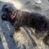 Blacky (corte) , Chien griffon croisé à adopter