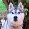 Paa17119 ice, Chien husky siberien à adopter