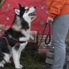 Mokka, Chiot husky siberien à adopter