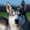 Loupio, Chien husky siberien à adopter