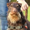 Choco oaa17516, Chien jadg terrier à adopter