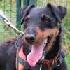 Sven, Chien jadg terrier (jadg terrier) à adopter