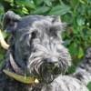 Farmer, Chien kerry blue terrier à adopter