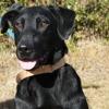 Mendy , Chien labrador (retriever) à adopter