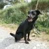 Nestor, Chien labrador (retriever) à adopter