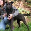 Arsouille, Chien labrador (retriever) à adopter