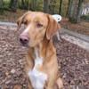 Coogan, Chiot labrador (retriever) à adopter