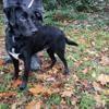 Jason, Chien labrador (retriever) à adopter