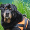 Whisky, Chien rottweiler à adopter