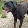 Yago, Chien rottweiler à adopter
