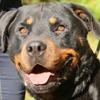 Pacha oaa16865  (réservé), Chien rottweiler à adopter