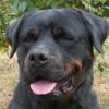 Paa16991 extrem, Chien rottweiler à adopter