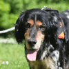 Harlow, Chien setter anglais à adopter