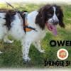 Owen, Chien springer à adopter