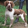 Ascott, Chien springer à adopter