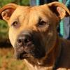 Bella (réservée) oaa16903, Chien staffordshire bull terrier à adopter