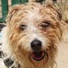 Motus, Chien west highland white terrier à adopter