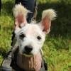 Galine oaa17332, Chien west highland white terrier à adopter