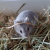 Armentieres, Animal hamster à adopter