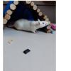 Paquerette (et marguerite), Animal rat à adopter