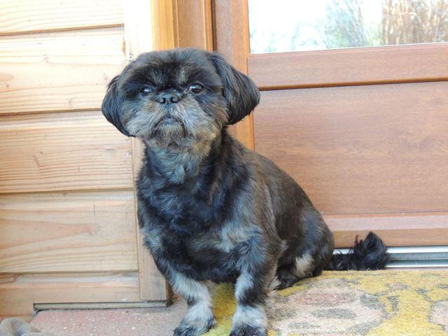 dino chien shih tzu adopter dans la r gion nord pas de calais. Black Bedroom Furniture Sets. Home Design Ideas