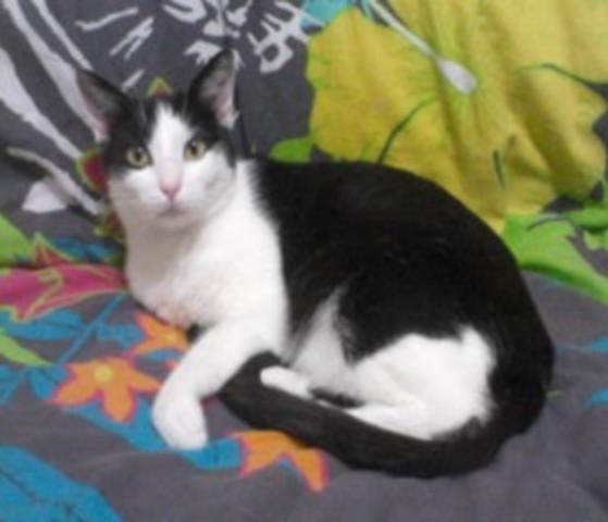 majesty chat europ en adopter dans la r gion pays de la loire. Black Bedroom Furniture Sets. Home Design Ideas