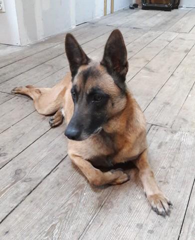 jazz chien berger belge adopter dans la r gion haute normandie. Black Bedroom Furniture Sets. Home Design Ideas