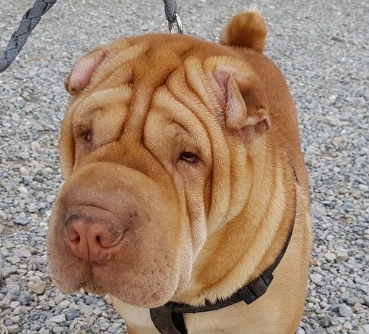 Bebe chien shar pei adopter dans la r gion provence alpes c te d 39 azur - Image bebe chien ...