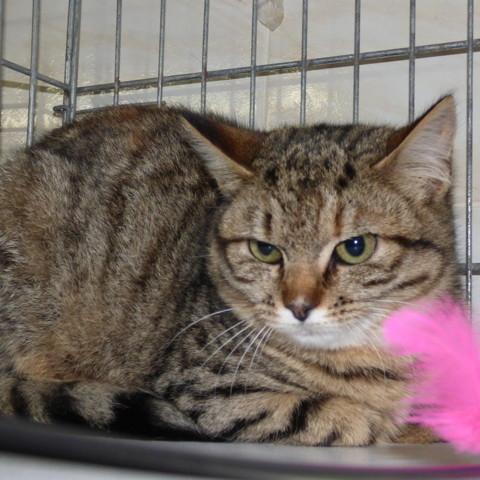 Zara : chat européen à adopter dans la région Ile de France
