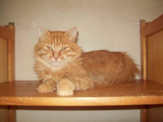 leo chat europ en adopter dans la r gion midi pyr n es. Black Bedroom Furniture Sets. Home Design Ideas