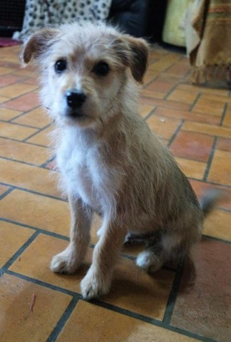 Ninja Chiot Basset Fauve De Bretagne Yorkshire Terrier A Adopter Dans La Region Bretagne