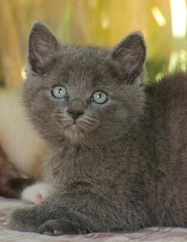 Melusyn Chaton Chartreux A Adopter Dans La Region Bretagne