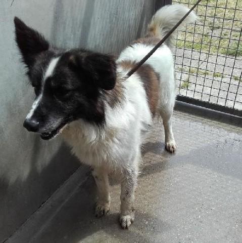 Volt chien berger australien adopter dans la r gion - Race chien volt ...