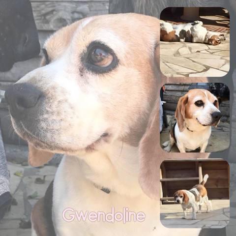 gwendoline chien beagle europ en adopter dans la r gion provence alpes c te d 39 azur. Black Bedroom Furniture Sets. Home Design Ideas