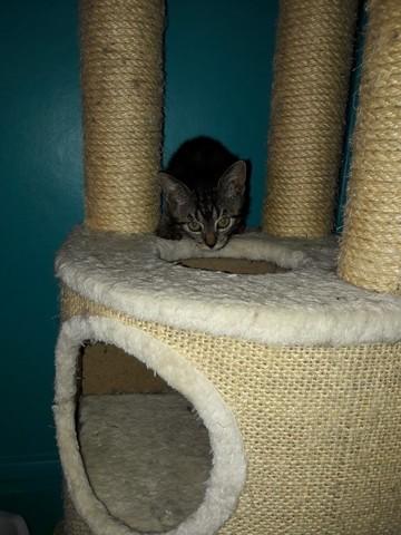 hymeko une coquinne charmer chaton adopter dans la r gion ile de france. Black Bedroom Furniture Sets. Home Design Ideas